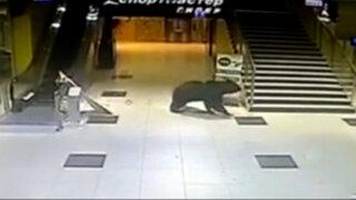 Rusia: matan a oso pardo en patio de escuela infantil