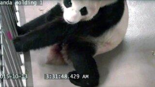 Registran parto de osa panda en zoológico de Canadá