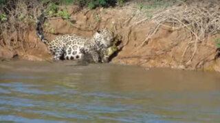 Impactantes imágenes: Jaguar toma de presa a caimán en el río Amazonas