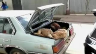 Huánuco: ovejas son trasladadas en maletera de auto