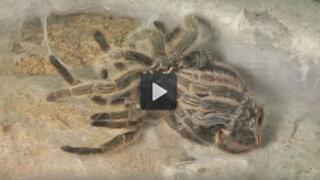 VIDEO: así es el perturbador proceso de muda de una tarántula rosa