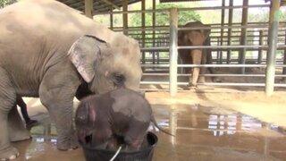 Mira el divertido baño de un elefantito que no quiere dejar de jugar con el agua