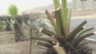 Serpar denuncia que desconocidos talaron árboles en Panamericana Sur