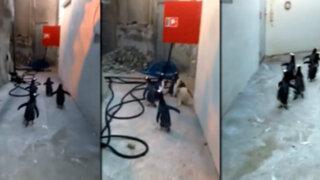 La fallida fuga de cinco pingüinos de un zoológico causa furor en las redes