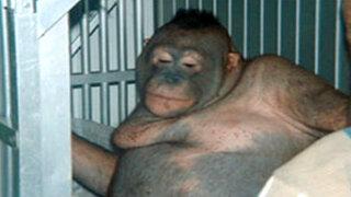 FOTOS: la indignante historia de una orangután esclavizada en un prostíbulo