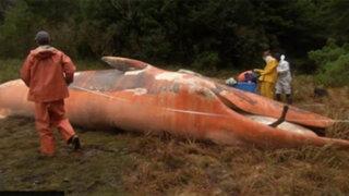 VIDEO: encuentran más de 300 ballenas muertas en las costas de Chile