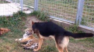 Esta es la curiosa amistad entre tigre y perro que cautiva en las redes sociales