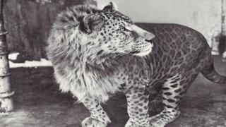 FOTOS: 18 animales híbridos que nacieron producto del cruce de diferentes especies