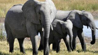 Hombre muere aplastado por elefante que intentaba cazar