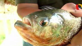 Pirañas park: descubra los misterios de este peligroso pez amazónico