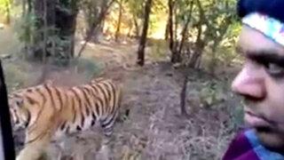 India: turistas viven aterrador momento al encontrarse con un tigre