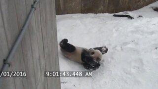 Mira cómo un tierno oso panda usa su pote de agua para jugar en la nieve