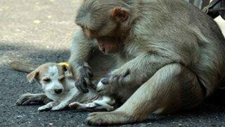 FOTOS: lo que hizo este mono con un pequeño cachorro sorprendió a todos en la India