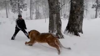 VIDEO: hombre juega con león en la nieve como si fuese un tierno gatito