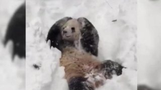 VIDEO: adorable oso panda se revuelca de felicidad por la nieve en EEUU