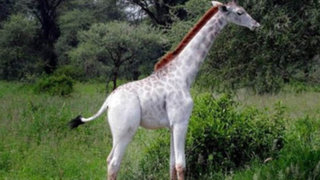 Cazadores furtivos estarían detrás de la única jirafa blanca del mundo