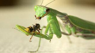 FOTOS: 7 datos insólitos que nadie te contó sobre la mantis religiosa