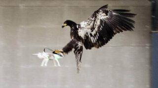 VIDEO: adiestran águilas para capturar drones enviados por terroristas
