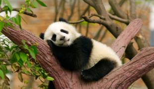 VIDEO: mira cómo tierno oso panda bebé intenta subir a árbol por primera vez