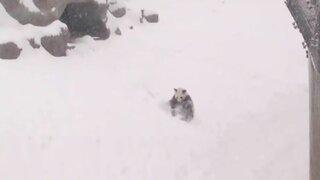 Adorable: mira cómo un panda disfruta jugando en la nieve