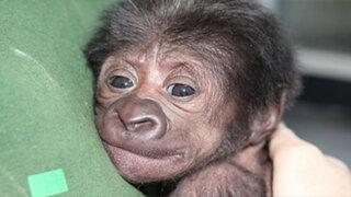 VIDEO: salvan la vida de una gorila con una cesárea