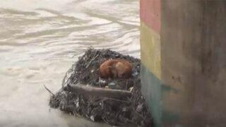 Cajamarca: serenos rescatan a perrito atrapado en el río Maschón