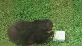 Parque de las Leyendas: animales se refrescan comiendo bloques de hielo con sabor a frutas