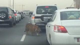 Tigre causa pánico en el tráfico de una autopista en Qatar