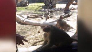 Mira la divertida reacción que tiene este mono al ver un truco de magia