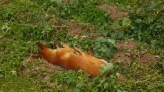 Huancayo: vecinos indignados por matanza de 20 perros