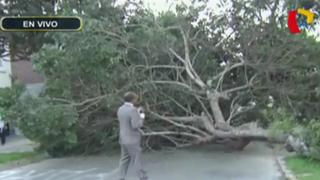 Barranco: se desploma antiguo árbol y bloquea calle
