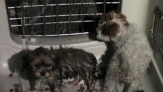Chorrillos: mascotas rescatadas de venta ilegal serán puestas en adopción