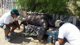Tacna: encuentran tortuga gigante nunca antes vista en el litoral peruano
