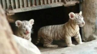 Huachipa: buscan nombres para crías de tigres