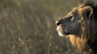 Kenia: león atacó a hombre tras escapar del Parque Nacional de Nairobi