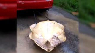 Costa Rica: jóvenes arrastran a tortuga y luego la descuartizan