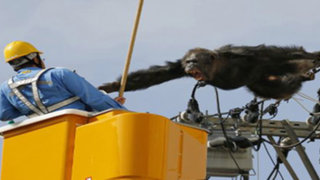 Chimpancé escapó de un zoológico en Japón y dejó sin luz a todo un vecindario