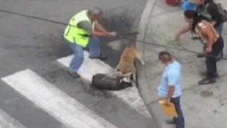 Chimbote: pitbull callejero masacra a otro perro