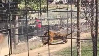 VIDEO: arriesgada joven entra a jaula de tigre para recoger una gorra