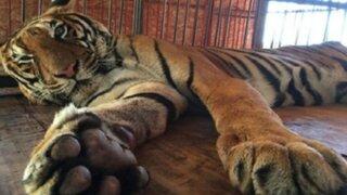 Rescatan a tigre de circo informal peruano
