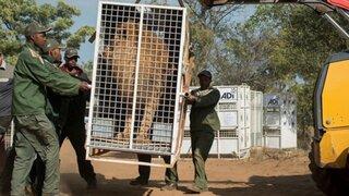 Sudáfrica: leones rescatados de circos de Perú y Colombia llegaron a santuario