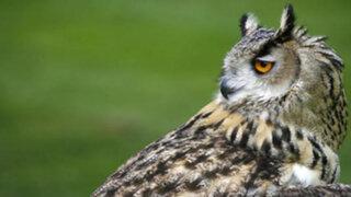 ¿Por qué los búhos pueden girar su cabeza hasta 270° sin problemas?