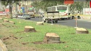 Disputa municipal por tala de palmeras en Los Olivos