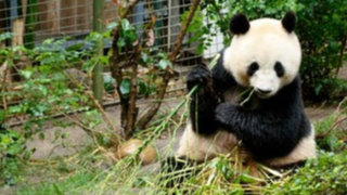 Osos pandas protagonistas de divertidas travesuras en China