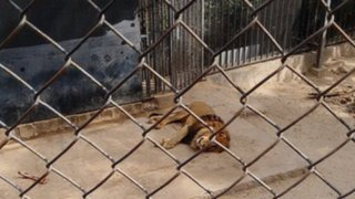 Chile: sacrifican a dos leones para salvar a suicida que entró a la jaula