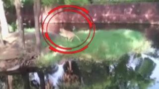 Increíble: sujeto ebrio ingresa a la zona de los leones y sale ileso