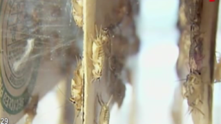 Atletas comen insectos para mejorar rendimiento