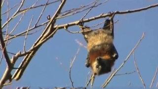 Declaran estado de emergencia: miles de murciélagos invaden ciudad australiana