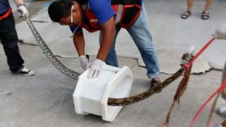 Tailandia: pitón ataca en los genitales a un hombre mientras estaba en el baño