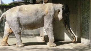 VIDEO: el elefante más longevo del mundo murió a los 69 años en Japón